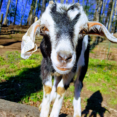 Greyhawk Hill Kikos Goats Dogs Canton Nc